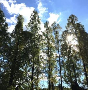 メタセコイヤの並木