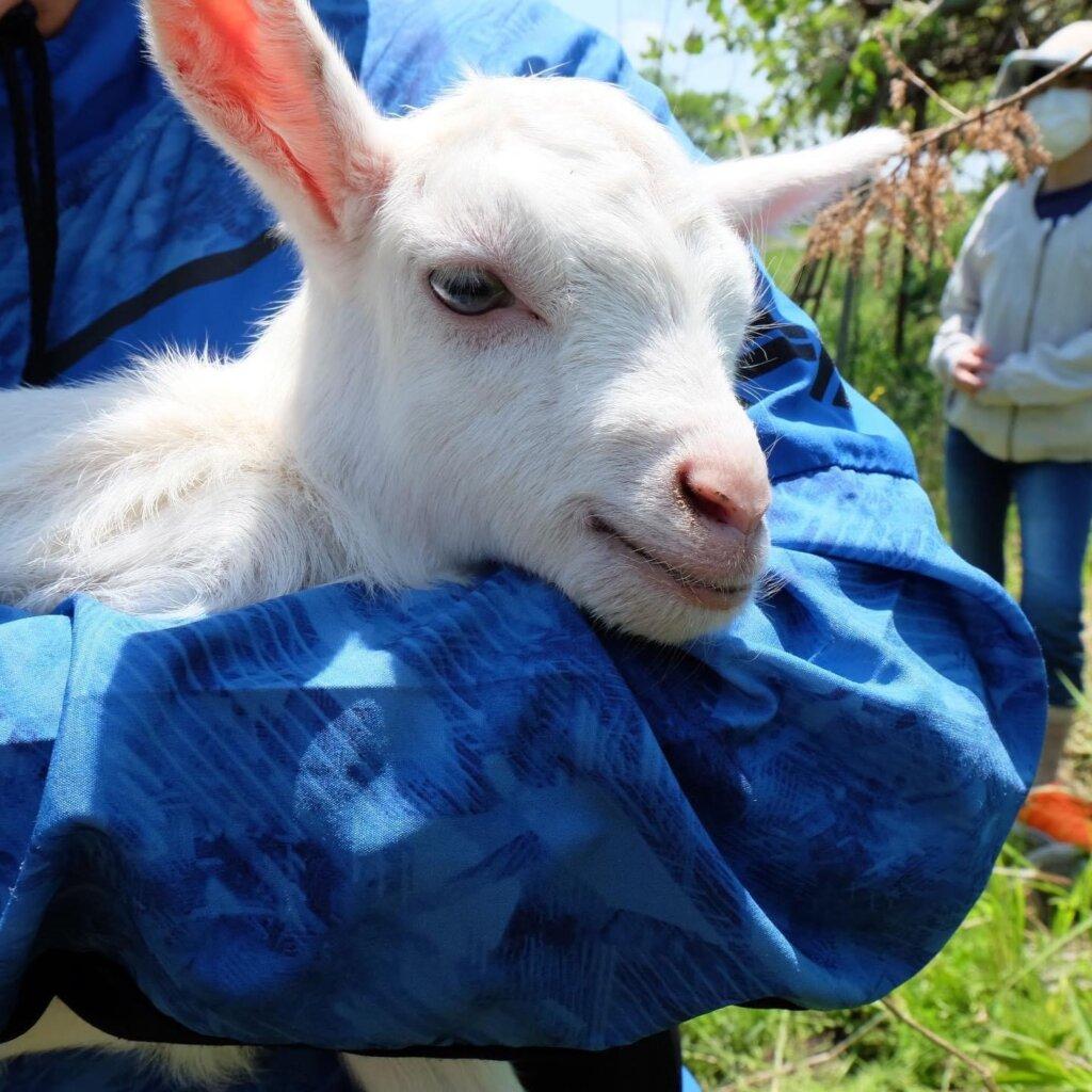 ヤギの赤ちゃんが生まれました